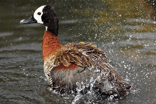slow shutter speed - duck